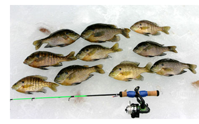 Bluegill catch on ice.